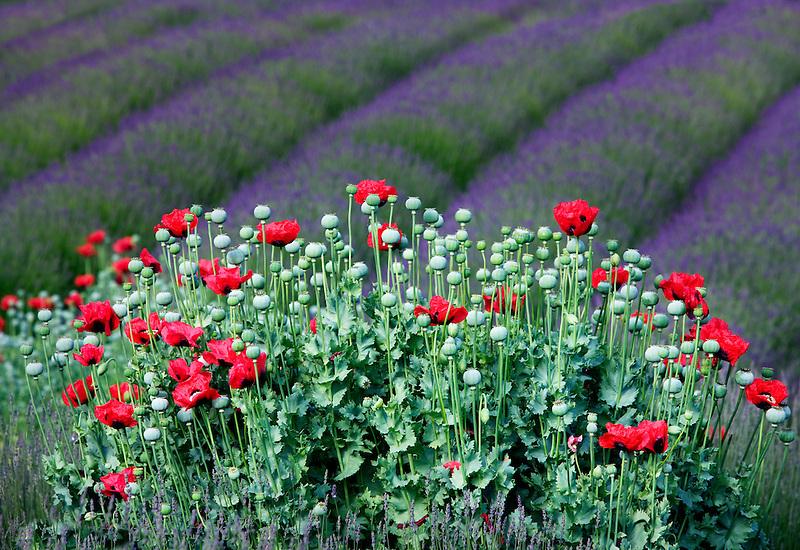 Red poppies and rows of lavender. Jardin du Soleil lavendar farm. Washington