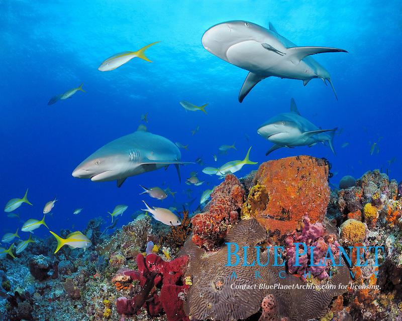 Caribbean reef sharks, Carcharhinus perezii, pass over reef, Little Bahama Bank, Bahama Islands, Bahamas, Caribbean Sea, Atlantic Ocean