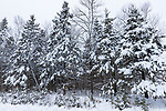 Heavy wet snow on spruce trees in northern  Wisconsin.