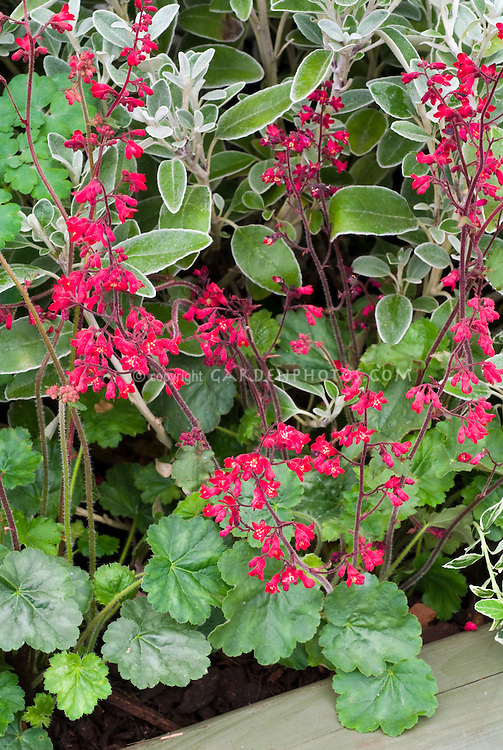 Heucherella Ruby Bells in red flowers