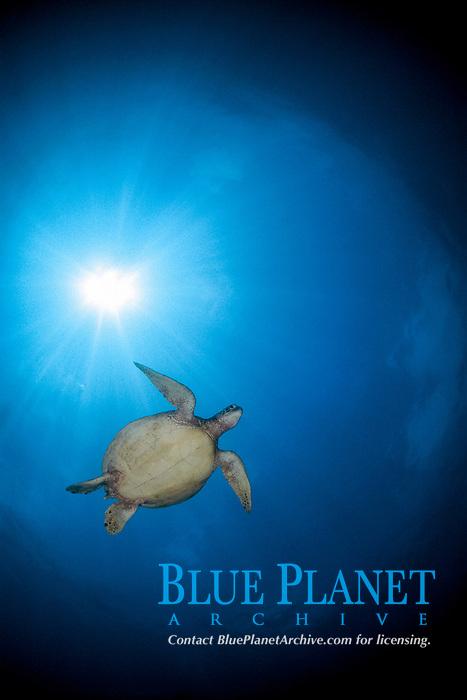 Green Sea Turtle, Chelonia mydas, Pulau Sipadan, Sabah, Malaysia, Sulawesi sea