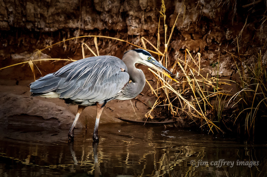 A great blue heron catches a small fish in a diversion channel at Bosque del Apache National Wildlife Refuge in southern New Mexico.