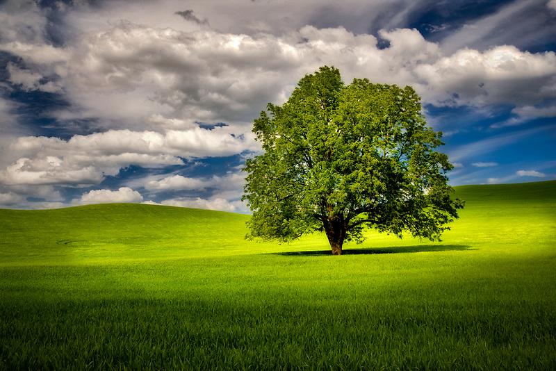 Lone tree in wheat field. The palouse, Washington