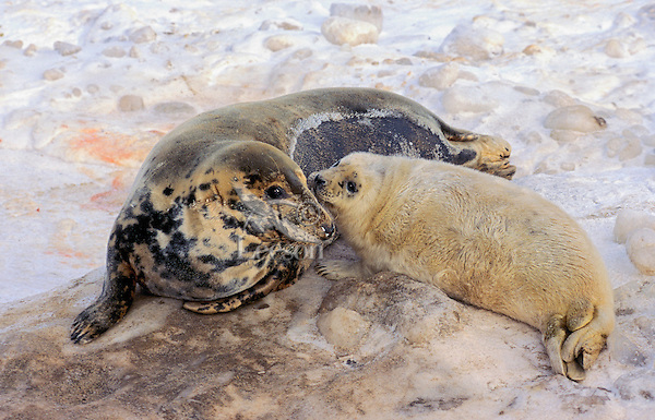 GRAY SEAL - Cow & pup. Pups are fed and protected by the cows for the first two weeks before they are left to fend for themselves on the birthing ice floes or secluded beaches. Northumberland Strait, Nova Scotia. Canada. (Halichoerus grypus).