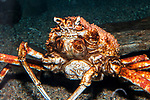 Japanses spider crab.  This species can grow to be more than 7 feet in diamater. Medium shot.