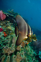 Longfin Spadefish, Platax teira, at Mike's Point, Raja Ampat, West Papua, Indonesia, Pacific Ocean