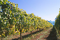Vineyard near Duncan in Cowichan Valley, Vancouver Island, BC, British Columbia, Canada