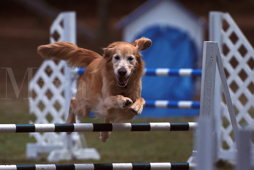 Golden Retriever (PR) competing at an agility trial in Gloucester, Virginia