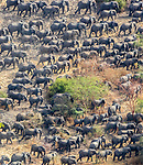 Aerial of African bush elephant herd (Loxodonta africana) amassed for protection against poachers, Zakouma National Park, Chad<br /> <br /> Canon EOS-1D X, EF200-400mm f/4L IS USM lens, f/5.6 for 1/200 second, ISO 640