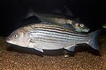 Striped bass swiming left over gravel bottom.