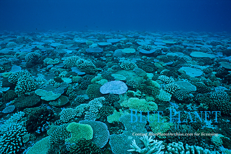 coral reef, Tahiti Nui, French Polynesia, South Pacific Ocean