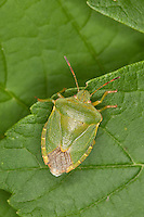 Grüne Stinkwanze, Stink-Wanze, Palomena prasina, green shield bug, common green shield bug