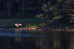 Sandhill cranes in northern Wisconsin.