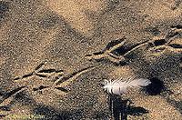ON03-026z  Ocean - bird tracks and feather on sandy beach