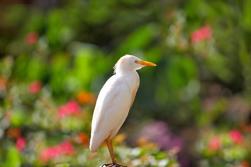 Cattle Egret (Bubulcus ibis). Maui. Hawaii