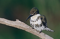 Green Kingfisher, Chloroceryle americana,female, The Inn at Chachalaca Bend, Cameron County, Rio Grande Valley, Texas, USA, May 2004