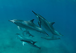 Small pod of dolphins swimming close to a diver at red hill Maui Hawaii.<br />