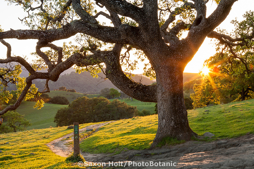 Oak trees (Quercus lobata) at sunset by hiking trail, Mt. Burdell State Park, Novato, California