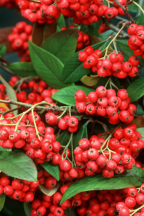 Cotoneaster x waterei in winter berry