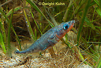 1S30-536z  Male Threespine Stickleback,  Mating colors showing bright red belly and blue eyes, gluing nest together with secretions from kidneys, Gasterosteus aculeatus,  Hotel Lake British Columbia