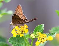 Teleus longtail skipper on lantana