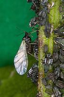 Blattlaus, Blattläuse, Blattlauskolonie, Blattlaus-Kolonie