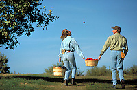 Man tosses a woman an apple as they pick apples in an orchard.