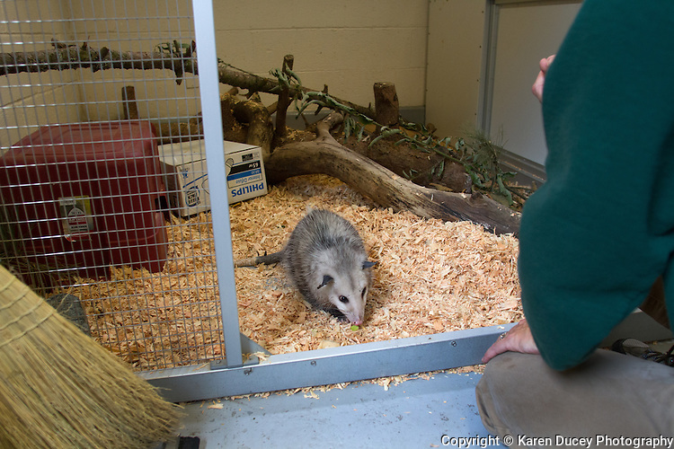 "Kimmie is a one-year-old opossum living at the Woodland Park Zoo.  Originally from Houston, a dog had grabbed her and bit her causing a severe spinal injury. The Woodland Park Zoo got her from the Texas Wildlife Rehabilitation Coalition and sent her to Seattle where she is undergoing physical therapy. Kimmie is food motivated ""She'll do anything for cheese,"" says Karen Ofsthus from the zoo's interpretive engagements program. ""Originally she couldn't climb up or down but she's getting stronger."" She's around 6 pounds."