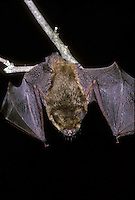 Endangered species: A Gray bat, Myotis grisescens, hanging from twig and sleeping in cave, Midwest USA