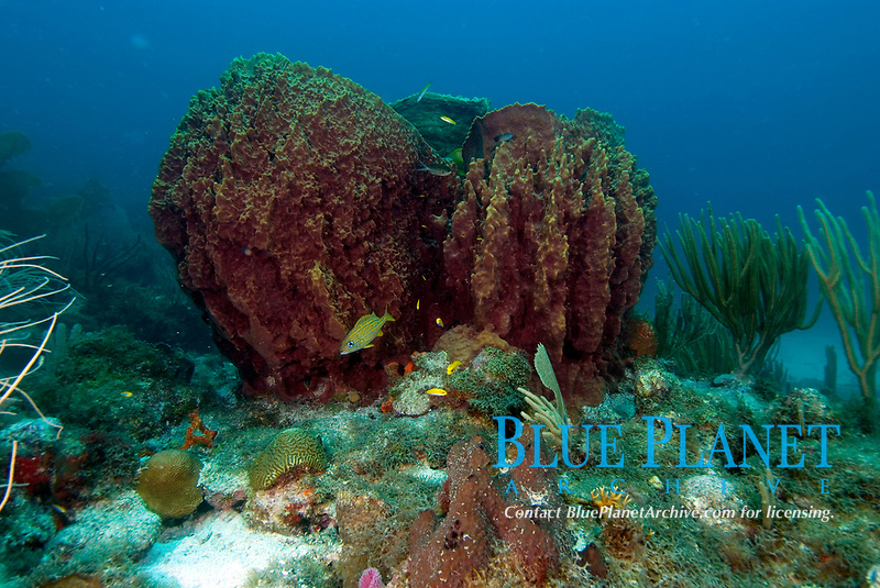 Giant barrel sponge, Xestospongia Muta, these sponges can become large enough for a person to climb inside, Jolly Harbour, Antigua