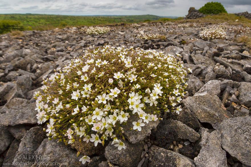 Leadwort {Minuartia verna} growing on spoil heap next to lead mine. Peak District National Park, Derbyshire, UK. June.