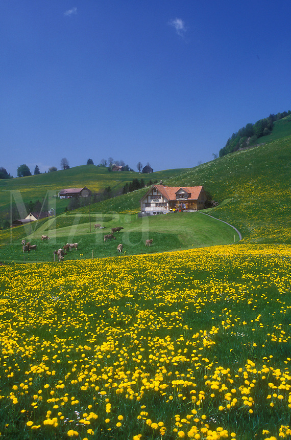 AJ1678, Appenzell, Switzerland, Europe, Scenic view of Swiss Brown cows grazing on the hilly grasslands filled with dandelions on the lush farmland in the Canton of Appenzell in the spring.