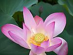 Washington, District of Columbia<br /> Lotus (Nelumbo nucifera) blossom in the lotus pond of the Kenilworth Park and Aquatic  Gardens