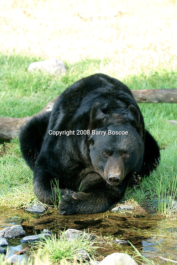 Full Grown Black bear drinking from a creek in Yosemite, Calif.