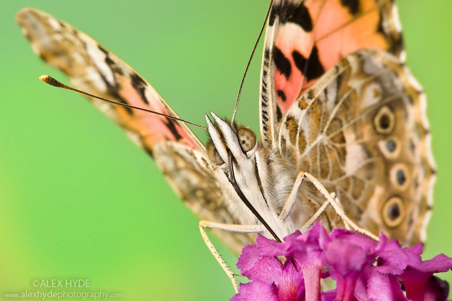 Painted Lady butterfly {Cynthia cardui} feeding on Buddleia {Buddleja davidii}. Captive. September.