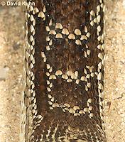 0519-1112  Gopher Snake (Pine Snake, Bull Snake), North American, Pituophis catenifer  © David Kuhn/Dwight Kuhn Photography