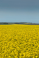 13-5-2021 Flowering oilseed rape on the Lincolnshire Wolds<br /> ©Tim Scrivener Photographer 07850 303986<br />      ....Covering Agriculture In The UK....