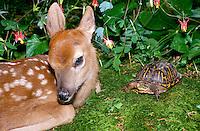 Box turtle and white tail fawn in summer garden,  Missouri USA