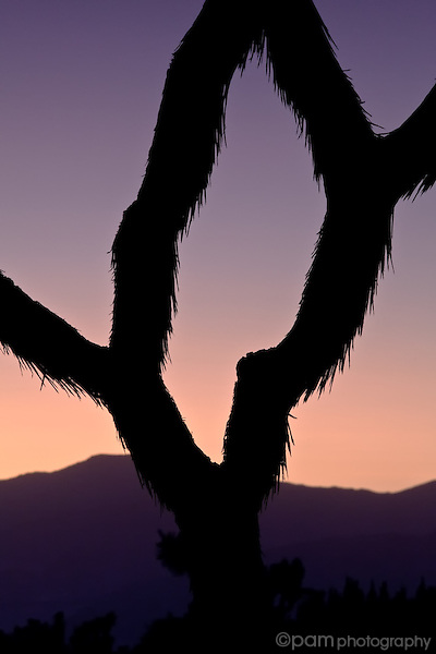 Abstract of Joshua Tree branches at sunset
