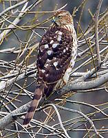 Immature Cooper's hawk
