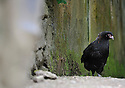 09/05/08 - MARSAC EN LIVRADOIS - PUY DE DOME - FRANCE - Elevage avicole de Alain PERRIN. Jeune poule MARANS noire cuivré - Photo Jerome CHABANNE