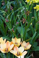 Epipactis gigantea orchid + Tulipa batalinii 'Bronze Charm'