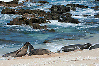 Hawaiian monk seals, Neomonachus schauinslandi, Critically Endangered endemic species, a 7-year-old male (RI11), on the left, challenges a 5 year old male (R036), at right, at west end of Molokai, Hawaii; a female (R318) passes by in background;