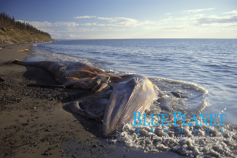 gray whale, Eschrichtius robustus, dead and washed on shore at Coho beach, Cook Inlet, Kenai Peninsula, southcentral Alaska,