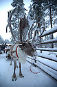 03/12/15<br /> <br /> Reindeer ride.<br /> <br /> Sick children are flown from East Midlands Airport to visit Santa and spend the day in Lapland. When You Wish Upon A Star have been arranging these festive flights for 24 years.<br />  <br /> All Rights Reserved: F Stop Press Ltd. +44(0)1335 418365   +44 (0)7765 242650 www.fstoppress.com