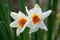 Daffodil (Narcissus 'Cragford'), a Division 8 Tazetta variety, mid February.