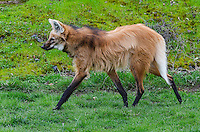 Maned Wolf (Chrysocyon brachyurus).  Largest canid found in South America.