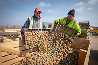 Handling seed potatoes - Lincolnshire, April