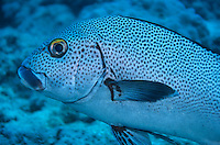 Spotted Blue Maori (Epinephelus cyanopodus) swimming in clear waters, Le Sournois, Noumea Lagoon, New Caledonia.