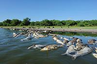 Black Vulture (Coragyps atratus), adults eating dead fish, Dinero, Lake Corpus Christi, South Texas, USA